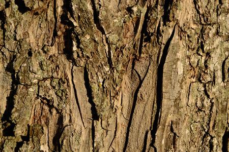 Pecan Tree Bark Close-up