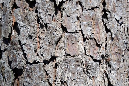 Pine Tree Bark Close-up