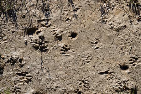 Raccon Tracks in the Mud of Coastal Marshland