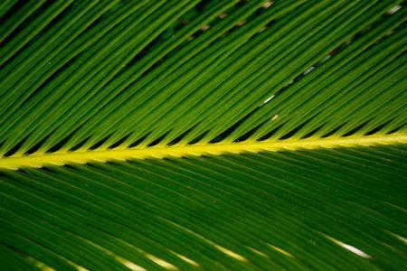 Sago Palm Close-up Stockfoto