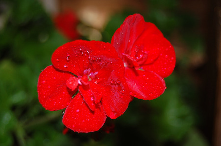 Little Red Flowers with Dew Stock Photo