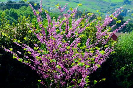 Cercis siliquastrum, commonly known as the Judas tree
