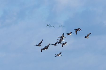 wildfowl: Migrating geese