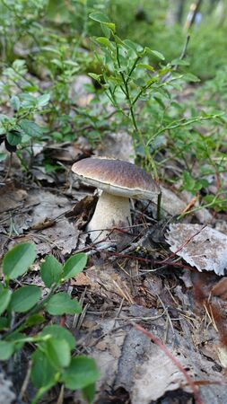 Mushroom picking this season in the woods on the outskirts of Stockholm Stok Fotoğraf