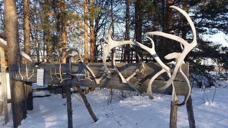 Reindeer horns exposed in a snowy field in northern Sweden. Banco de Imagens