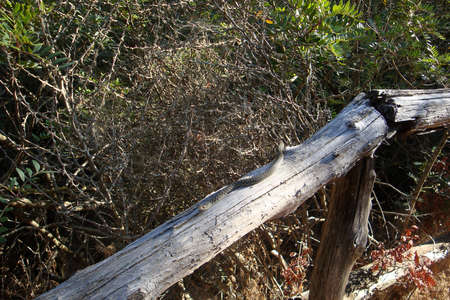 A gray snake quietly crawls on a log in the woods