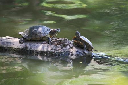 basking: Turtle sunning on the log