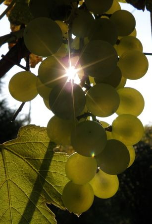 Sunshine rays lurking through a bunch of grapes       photo