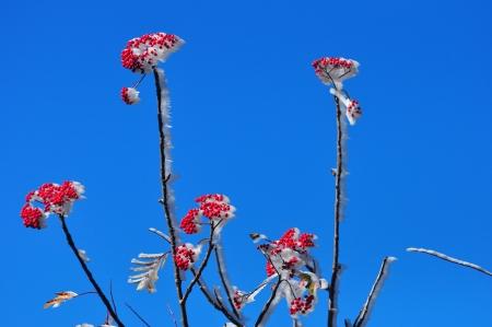 Morning Frost on Berries Banco de Imagens