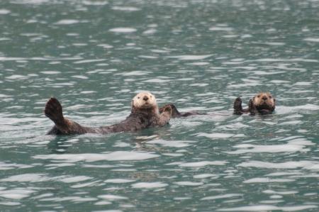 sea otter: Sea Otters In Prince William Sound Stock Photo