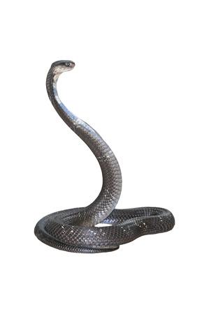 king cobra: King cobra isolate on white background