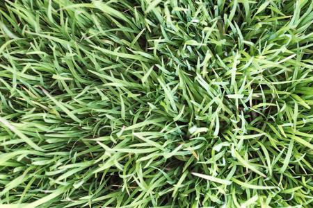 배경에 대 한 농장에서 녹색 쌀 필드 스톡 콘텐츠