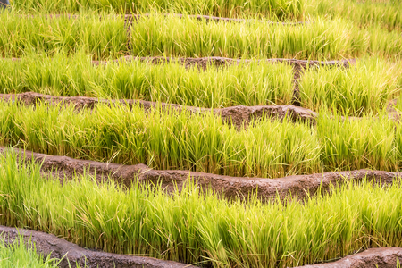Rice terrace on during sunset
