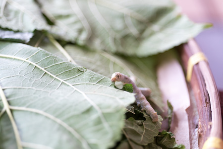The larvae of the butterfly species that can create a cocoon. To produce a yarn for weaving silk.