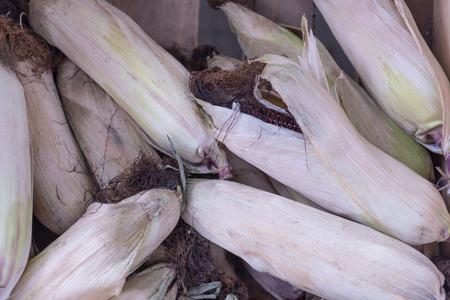 Purple corn cob between green leaves.