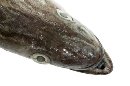 hake: Closeup of a hake on white background Stock Photo