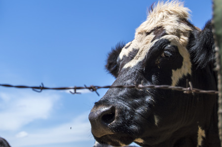 behind wire cow looking at the camera Imagens