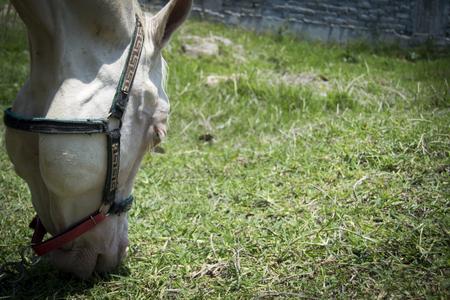 llegua beautiful white eating grass Stock Photo