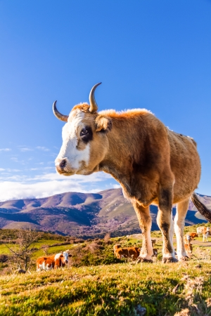 parc naturel: Free roaming cow at the Col de San Colombano in the Bakagne region of Corsica