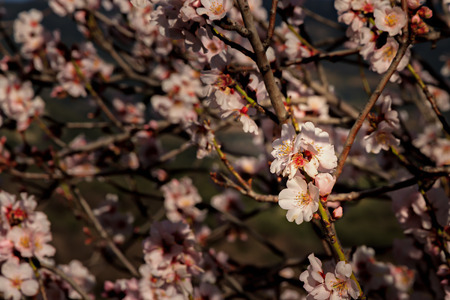appears: The first blossom appears on a tree overlooking the Reginu valley in Corsica