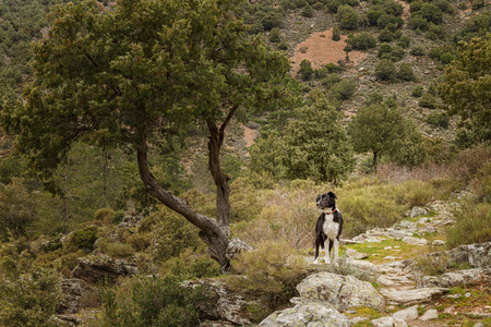 parc naturel: Border Collie dog standing on rocky path under a twisted old tree