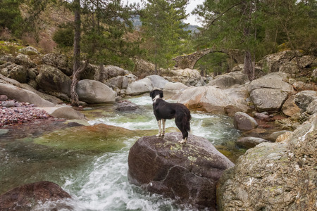parc naturel: Border Collie Dog standing on a larger boulder over the clear mountain waters of the Tartgine river in the Tartagine forest