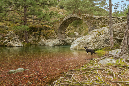 parc naturel: A Border Collie dog paddles in the clear mountain waters of the Tartagine river in front of an ancient Genoese bridge Stock Photo