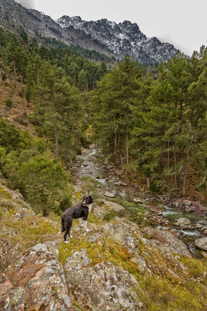 parc naturel: Border Collie dog overlooking the clear mountain waters of the Tartegine river in the Tartagine forest