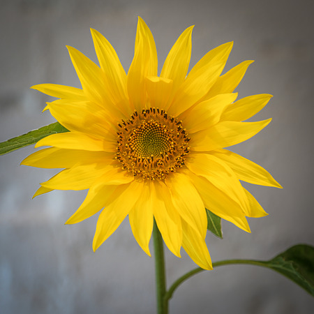 helianthus: A young sunflower or Helianthus Stock Photo