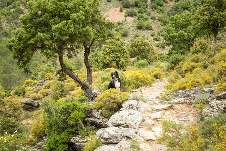 parc naturel: Border Collie dog standing on rocky path under a twisted old tree in the Tartagine forest near Mausolo in the Balagne region of Corsica