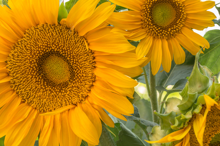Close cropped image of two large sunflowers showing centre of flower, petals and some greenery