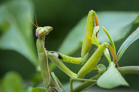 Macro image of the head and forearms of a male European Praying Mantis resting on a green leaf Stock Photo