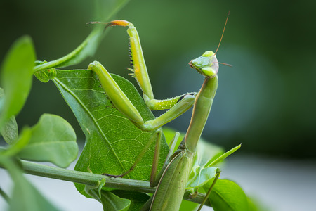 Macro image of the head and forearms of a male European Praying Mantis resting on a green leaf and looking at camera