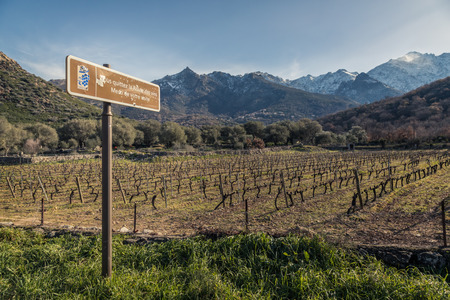 Route des vins road sign by rows of carefully pruned vines in a Corsican vineyard bathed in late afternoon light with snow covered mountains in the background Stock Photo