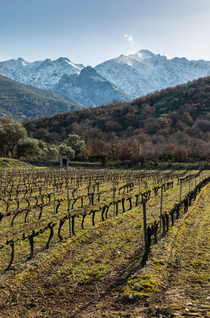 Late afternoon sun on rows of carefully pruned vines in the Balagne region of Corsica with snow covered mountains in the background Stock Photo