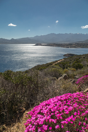 Bright pink flowers amongst the maquis and rocks of Revellata on the west coast of Corsica with the citadel of Calvi and snow capped mountains in the distance and deep blue sky and Mediterranean sea Stock Photo