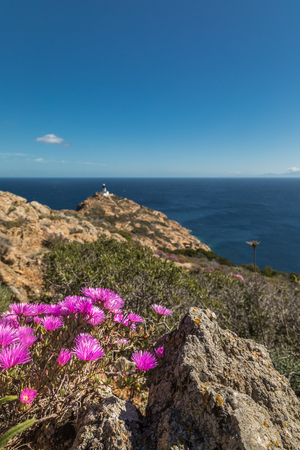 Bright pink flowers amongst the maquis and rocks of Revellata on the west coast of Corsica with the lighthouse in the distance and deep blue sky and Mediterranean sea