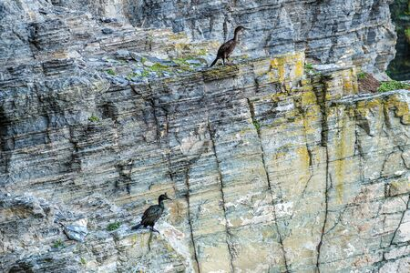 Two Shag birds perched on the steep cliffs at Whaligoe Harbour near Wick in Caithness in Scotland