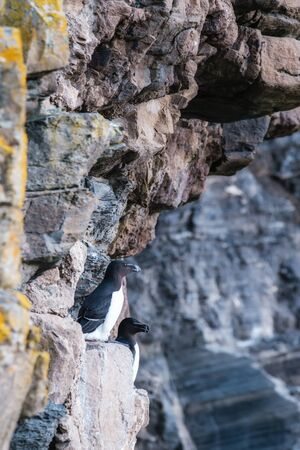 Two Razorbills perched on the steep cliffs at Whaligoe Harbour near Wick in Caithness in Scotland