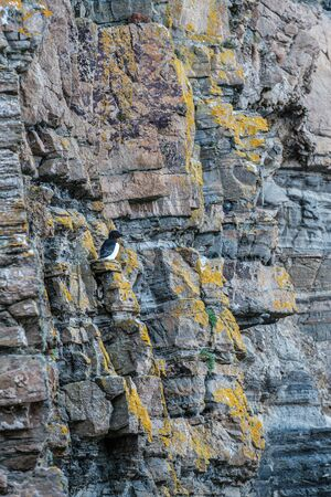 A Razorbill perched on the steep cliffs at Whaligoe Harbour near Wick in Caithness in Scotland