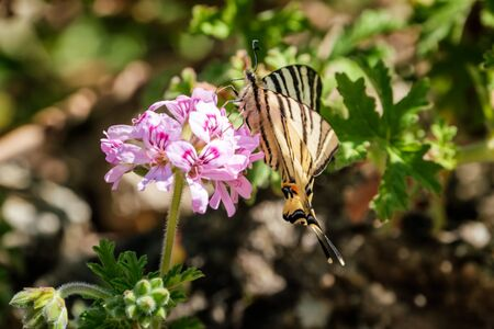 Scarce Swallowtail (Iphiclides podalirius) butterfly taking nectar from a pink Geranium flower in Corsica