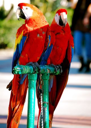 the two parrots: this is a shot of two parrots standing on a green perch Stock Photo