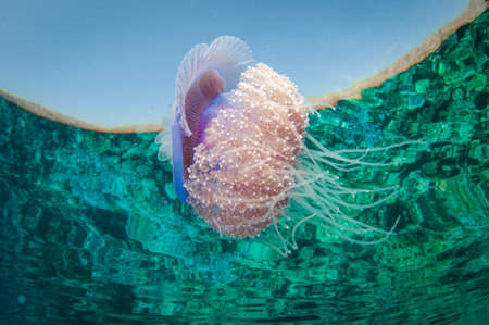 crown jelly fish swims in clear water and has refection on surface with tentacles Banco de Imagens