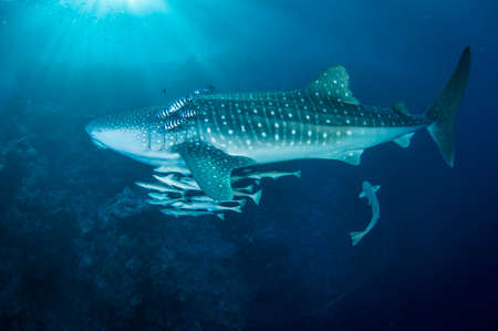 Whale shark swimming in clear blue water with raymorrey fish and pilot fish Stock Photo