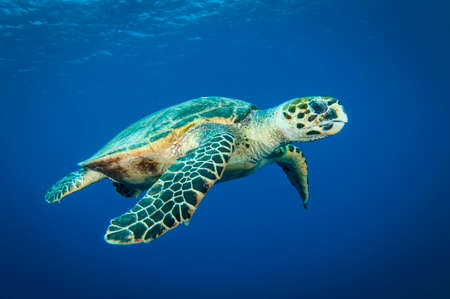 Hawksbill sea turtle swims in the clear blue ocean and looks into the camera