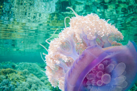 crown jelly fish swims in clear water and has refection on seurface with tenticles