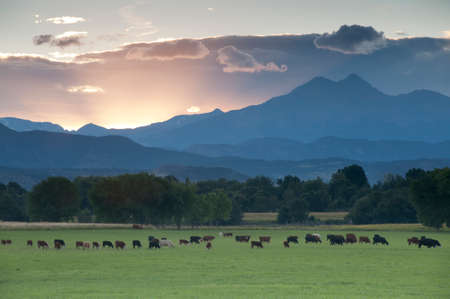 ranches: The days last rays of light reach over the horizon from behind Longs Peak in Colorados Rocky Mountains.  Cattle graze beneath on a Longmont ranch.