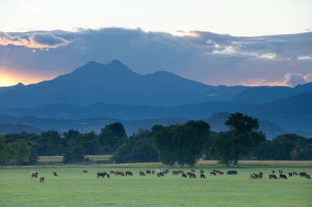 distance: Cattle graze beneath the foothills of the Rocky Mountains in Longmont, Colorado.  The prominent mountain in the distance is Longs Peak. Stock Photo