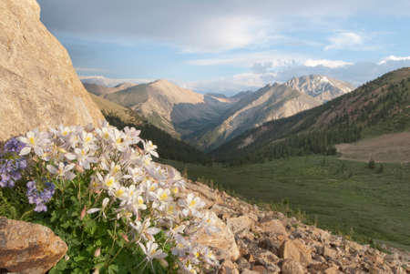 soft peak: Columbine bloom on the shoulder of Mt. Elbert in the Sawatch range of Colorados Rocky Mountains.