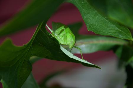 Katydid bug on a leaf